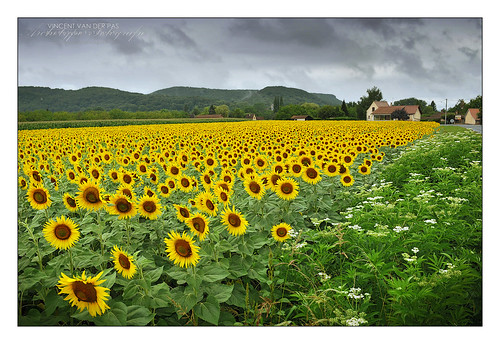 France, Sunflowers Missing the Sun at Beynac | by Vincent_AF