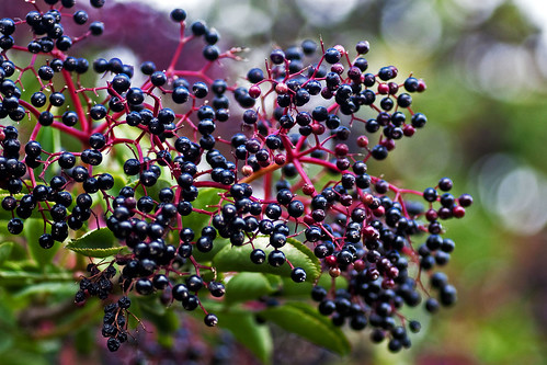 Elderberries | by me'nthedogs
