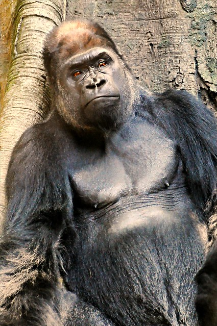 gorilla dating The tale of a gorilla raised like a normal child in a gloucestershire village is rediscovered.