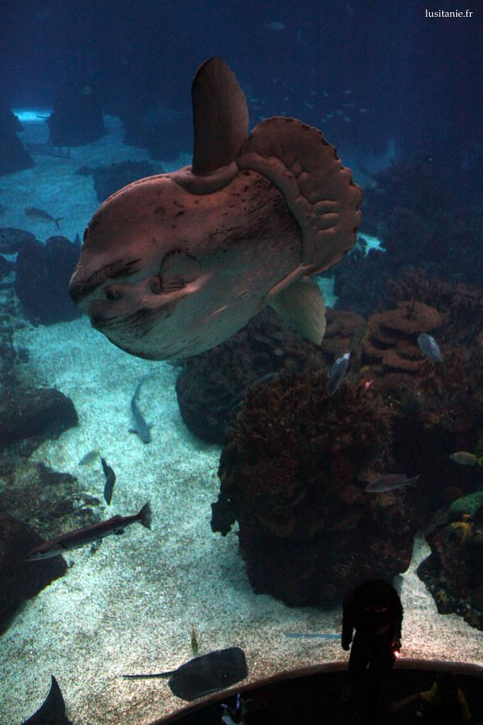 Et pour cause, ce poisson peut faire jusqu'à 3 m!