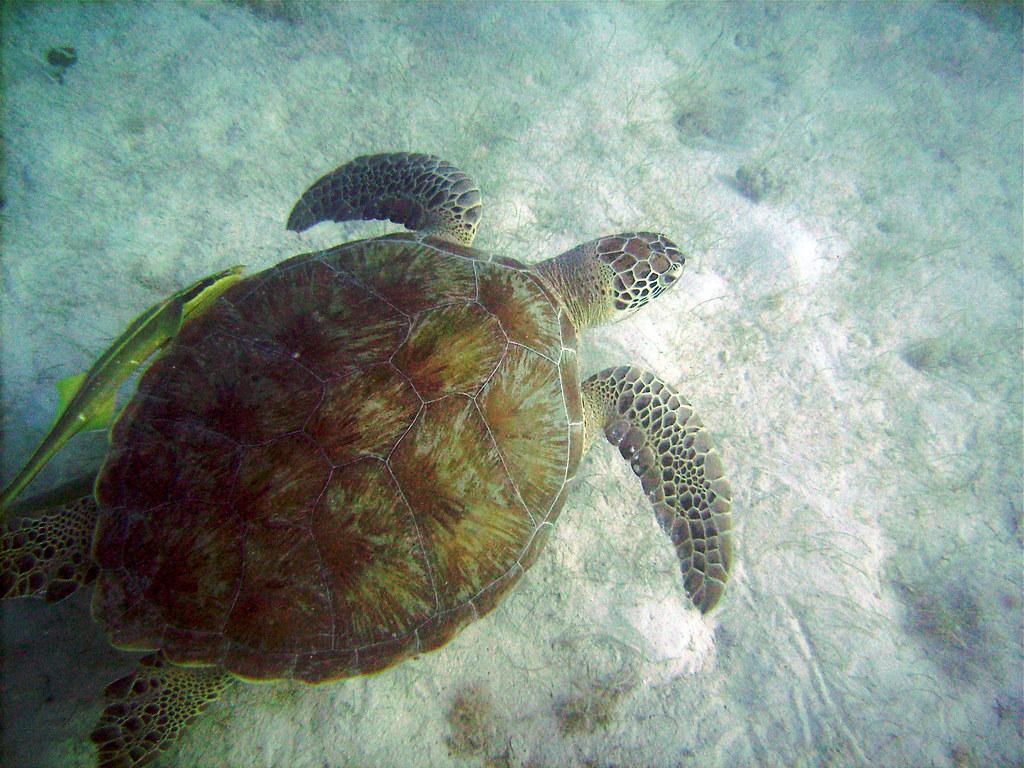 Green Turtle Cay 2 >> Green sea turtle and ramora | Diamond Cay, Jost Van Dyke ...