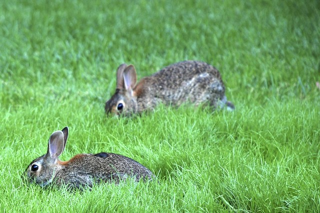Rabbits in the Yard | Flickr - Photo Sharing!