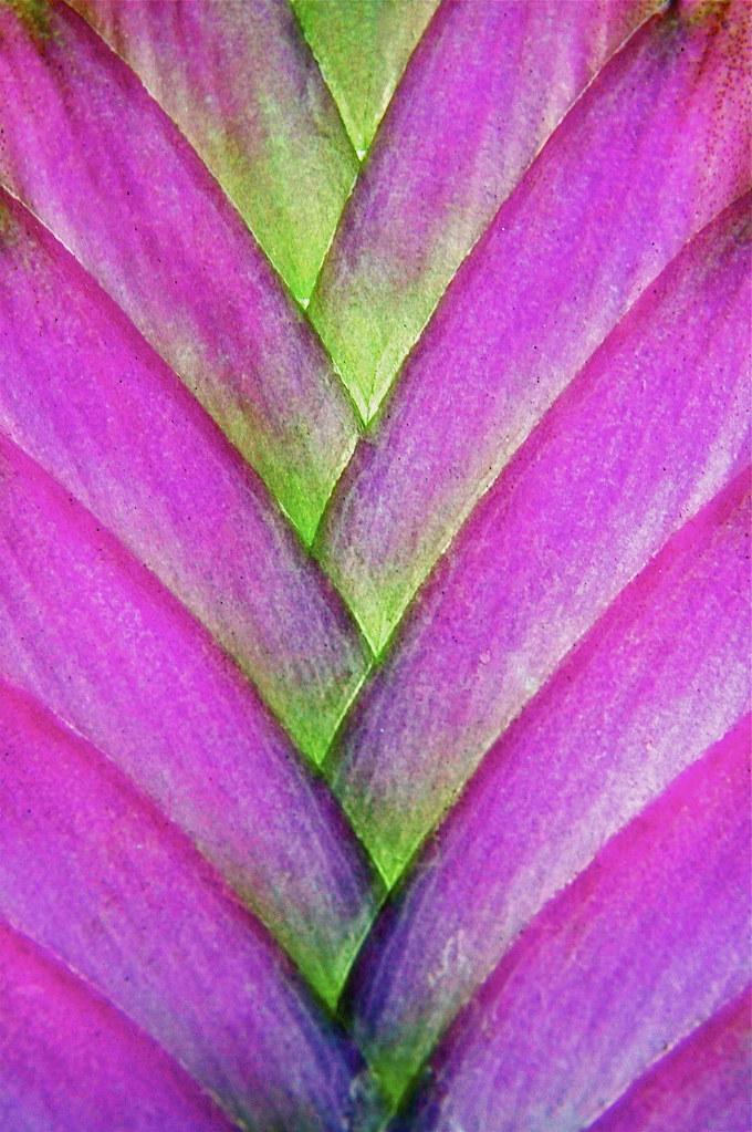 Tillandsia Cyanea Linden Ex K Koch: Tillandsia Cyanea Or Pink Quill