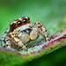 Sub-Adult Male Jumping spider - (Habronattus mataxus)