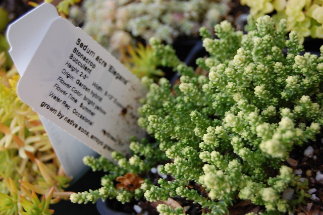 Sedum Acre Sedum Acre 39 Elegans 39 Flickr