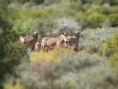 Tilt-Shift Zebra Stripe | by Jon Mountjoy