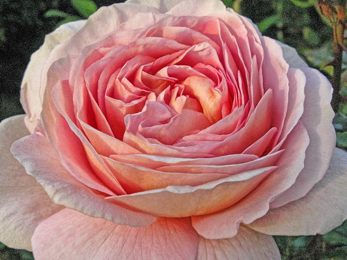 full bloom abraham darby austin rose this rose is an excep flickr. Black Bedroom Furniture Sets. Home Design Ideas
