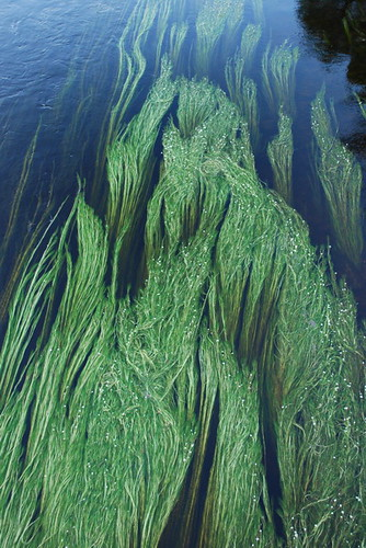 Flowing grass grass flowing under water like long locks for Like long grasses