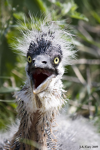 great blue heron chick baby dinosaur a wild great blue