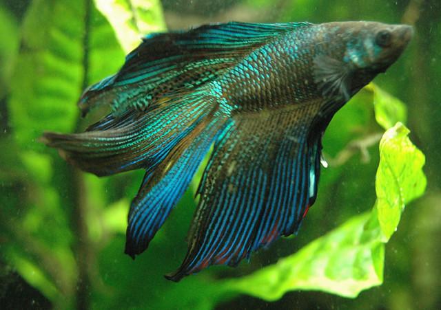 Delta Tail Betta Fish double tail betta | .....