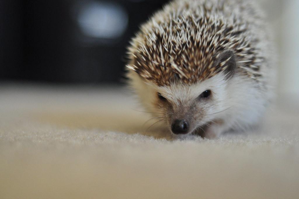 angry hedgehog robert rabon flickr