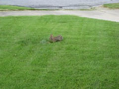 rabbit in our yard | by juliloquy