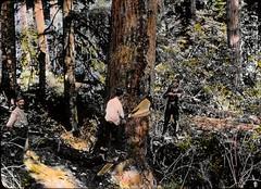Felling a tree in Oregon
