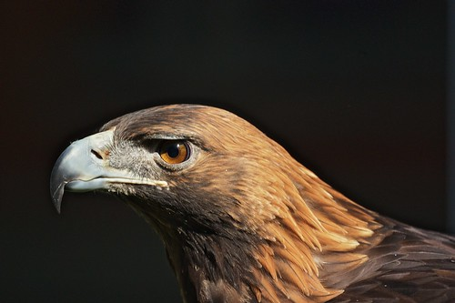 Golden Eagle | by Ed Gaillard
