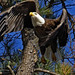 bald eagle, Haliaeetus leucocephalus, takes flight