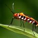 Cotton Stainer bug, Dysdercus cingulatus