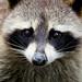 Nature | Raccoon