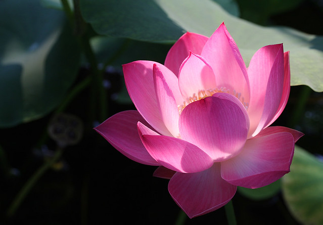 flower  pink  lotus  flower  lotus  pink   flickr, Natural flower