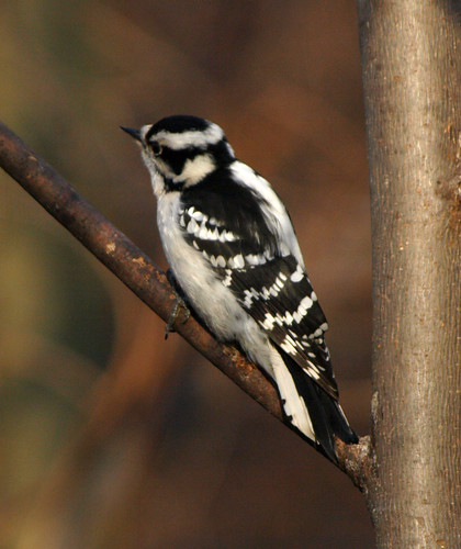Downy woodpecker | by Steve Guttman NYC