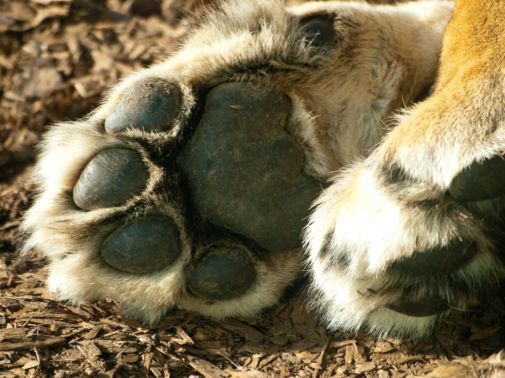 Lion Paw | Close-up of...