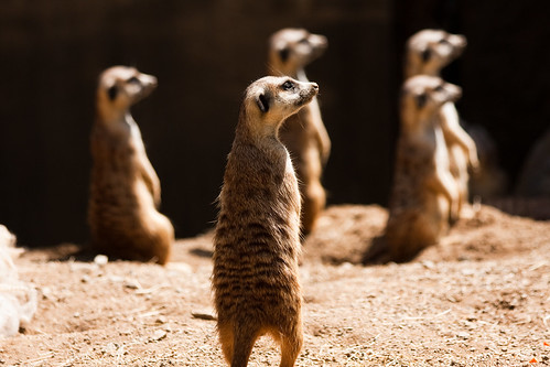 Cautious Meerkats | by Another Pint Please...