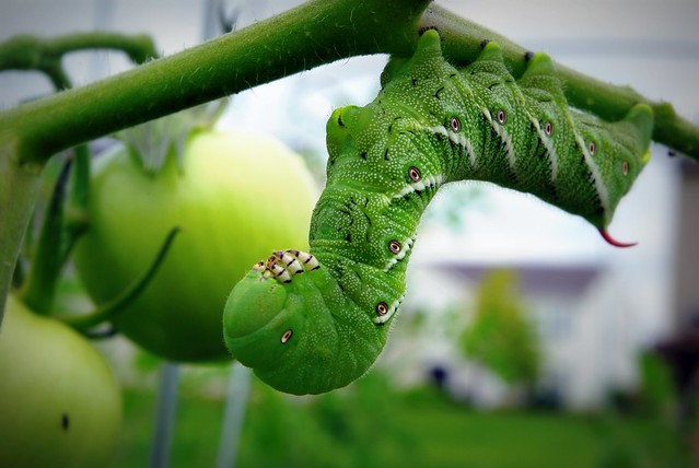 Larval stage Manduca sexta