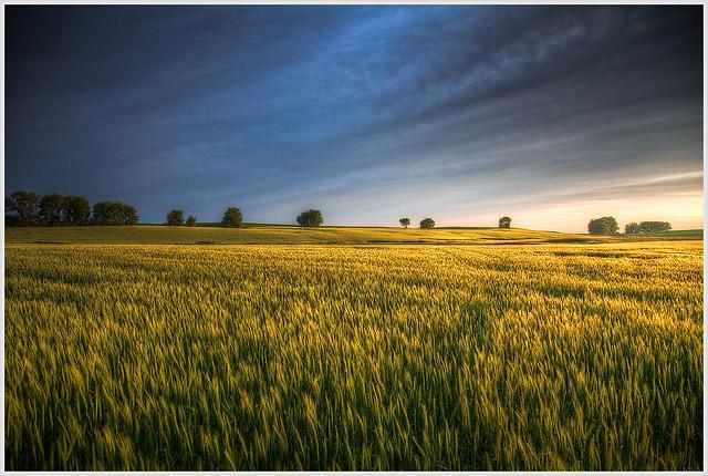 Wheat Field At Sunset (Explore #333)   A wheat field ...