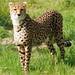 Cheetah.-Acinonyx jubatus