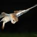Barn Owl Tyto alba in flight hunting at night