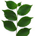 Ulmus rubra - Slippery Elm leaves