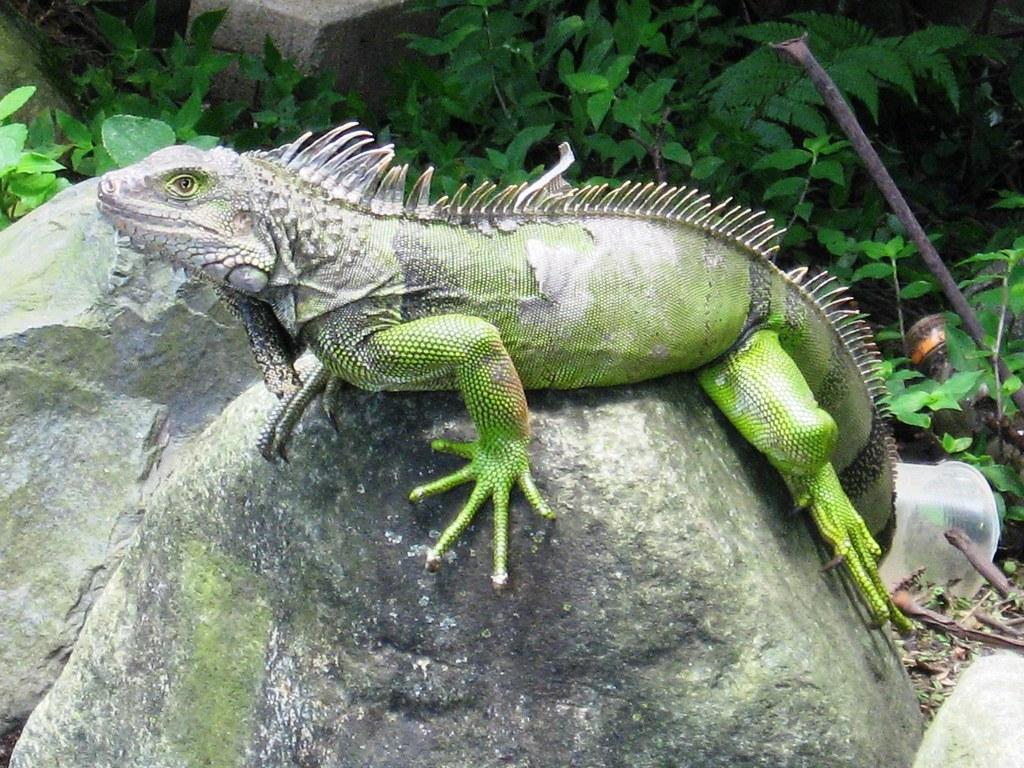sobre una piedra iguana del jard n bot nico medell n