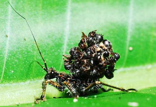 ASSASSIN BUG @ Serendah | by rizalis (malaysian macro team)