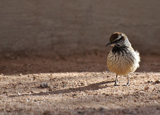 Cactus wren and shadow | by AlanH2O
