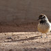 Cactus wren and shadow