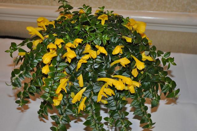 Комнатные цветы с колумнея