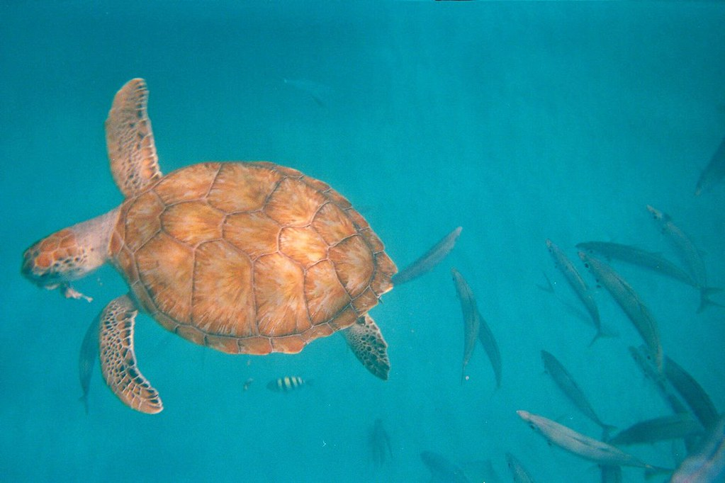 Sea turtle eating a fish it 39 s lunch time seek new for Fish not eating