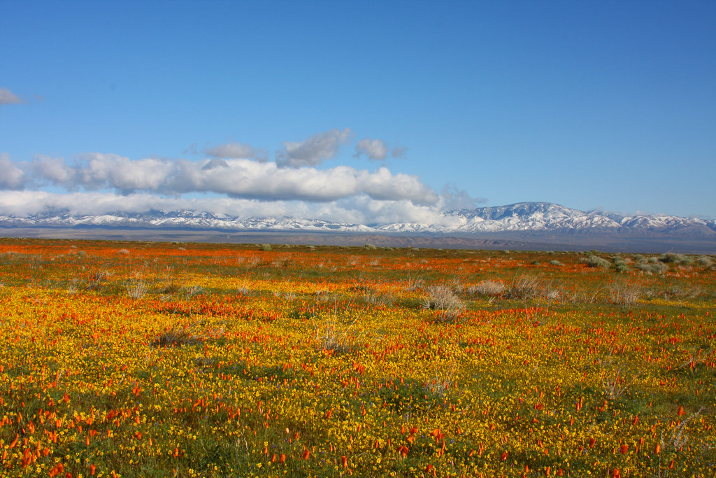 Tehachapi Mountains A Carpet Of Wildflowers Stretches