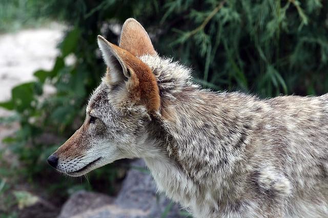 coyote face profile pocatello id 03jul2009