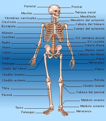 Esqueleto esqueleto del cuerpo humano con nombres for Medidas ergonomicas del cuerpo humano