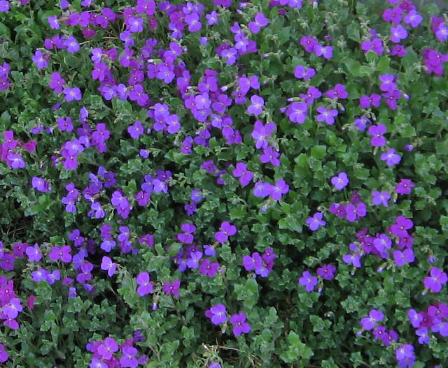 Purple Ground Cover Flowers Love Em Laura Nolph Flickr