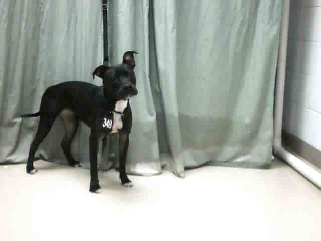 Solid Black with White Chest Female Pit Bull | Solid black ...
