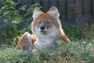 Dhole | by tim ellis