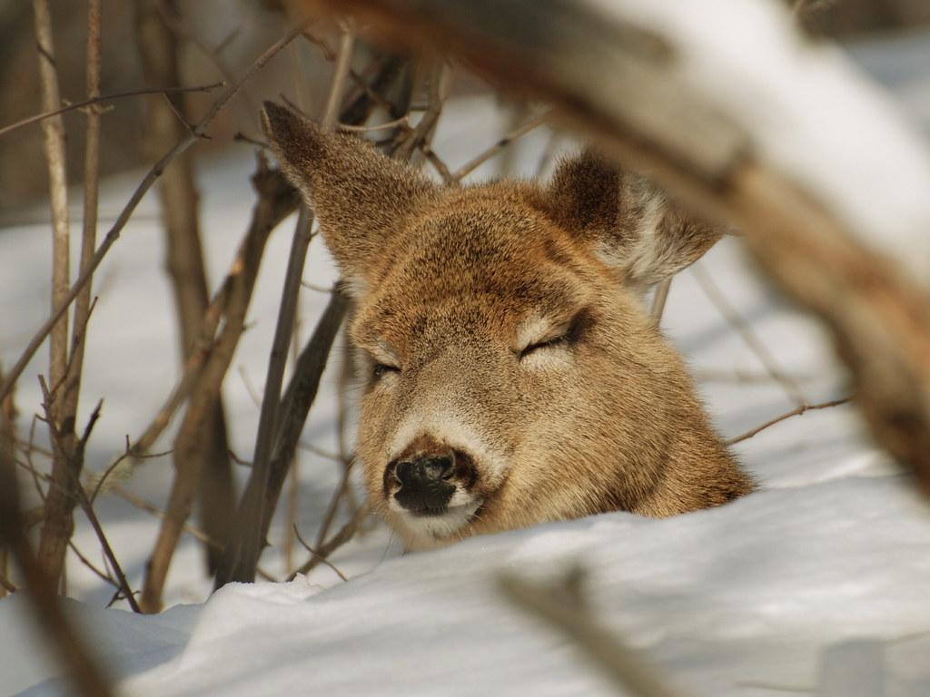 Sleeping Deer Buck Sleeping And Eating In His Daytime