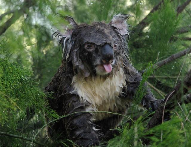 Wet Koala 4