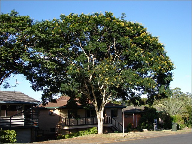 caesalpinia ferrea leopard tree the tree is always