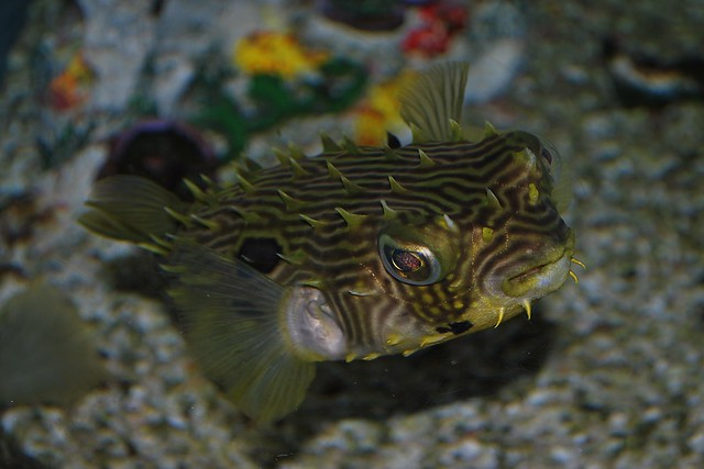 Puffer fish mote aquarium flickr photo sharing for Puffer fish aquarium