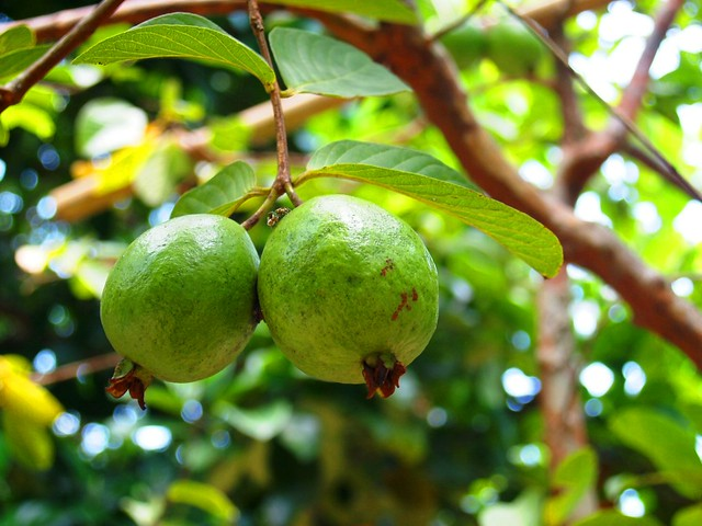 Guava Fruit Uses: Tips For Eating And Cooking With Guavas