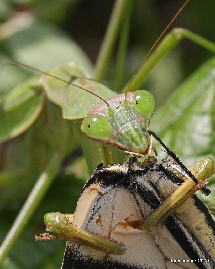 Praying Mantis Eating Spider | Wallpapers Gallery