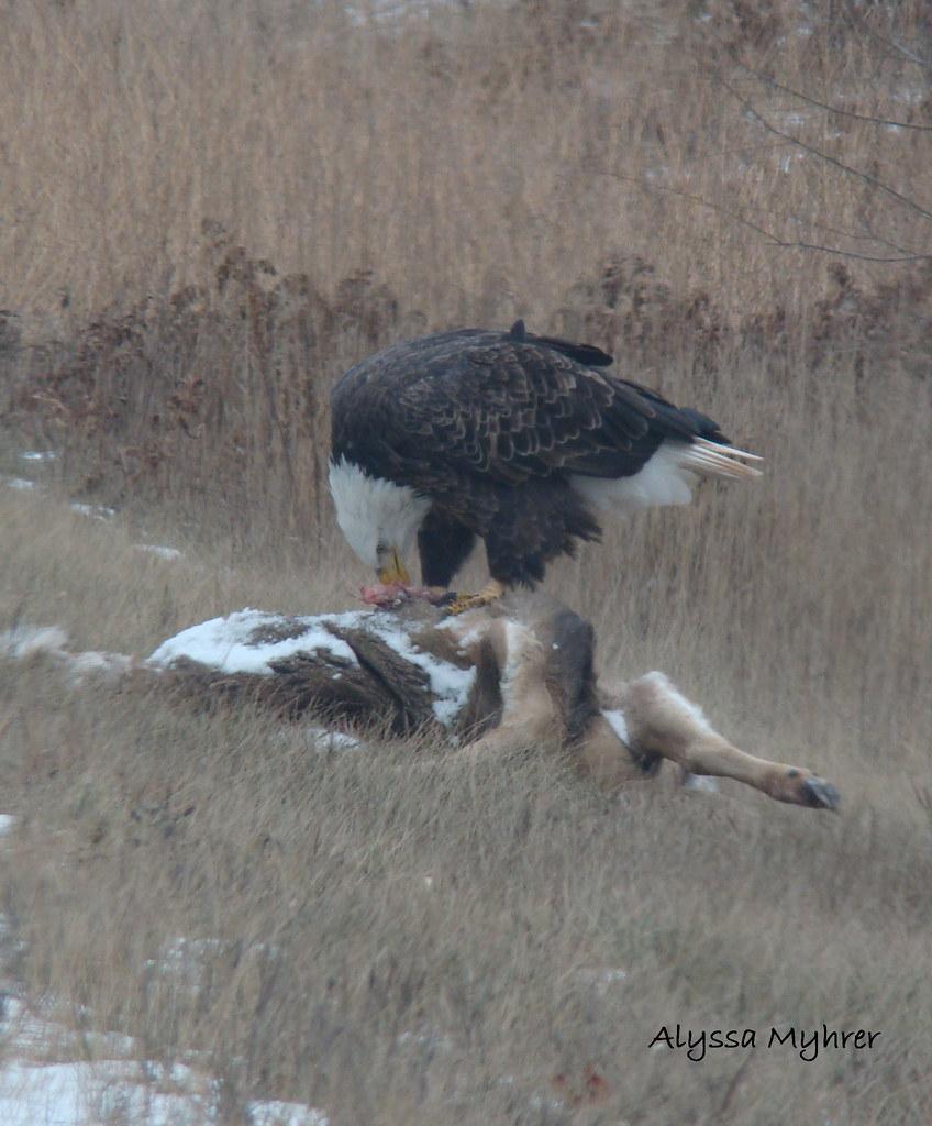 Bald Eagle Eating Deer Bald Eagle Eating