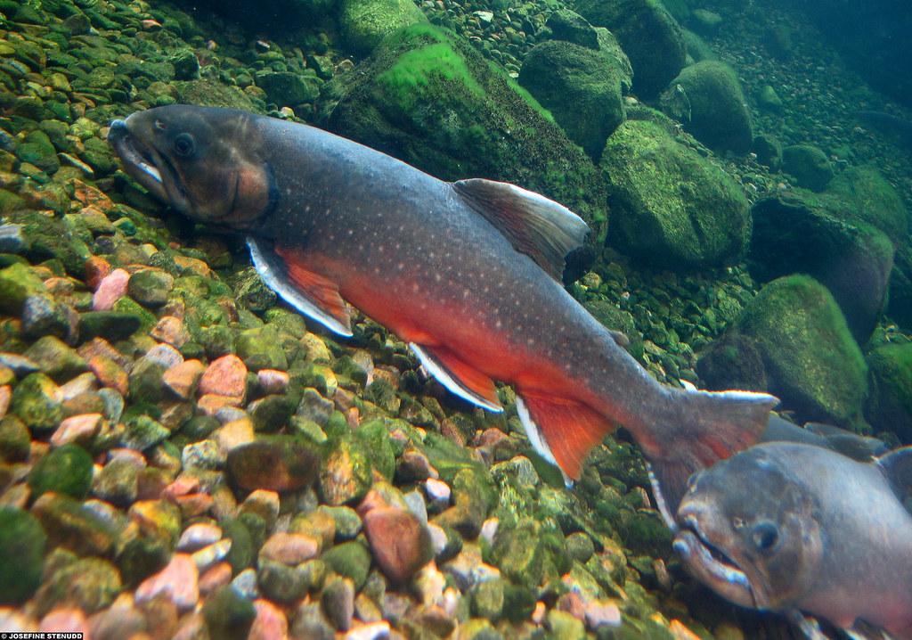 20090613 02 arctic char salvelinus alpinus at universeum for Arctic char fish